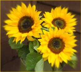 Sun Flowers.