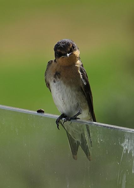 Cute Swallow by chensuriashi