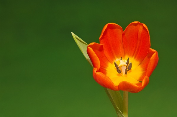 Tulip by akhtarkhan