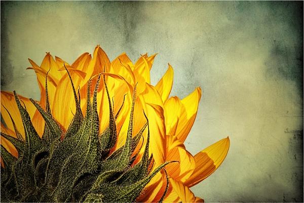 Sunflower 1 by StickyW