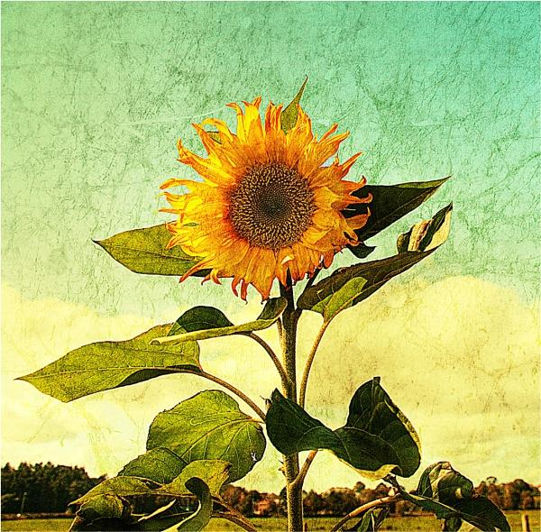 Sunflower 2 by StickyW