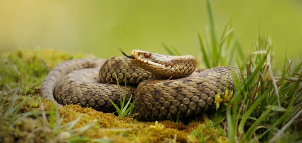 Adder - vipera berus by SurreyHillsMan