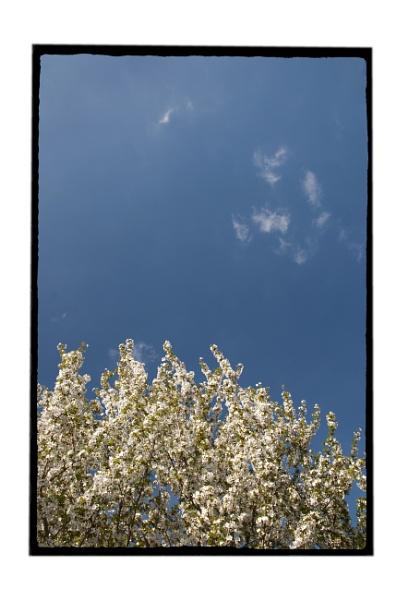 Cherry Blossom by ohlavache
