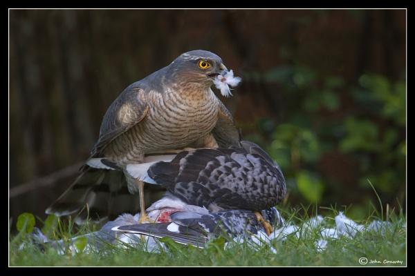 Sparrowhawk by jaymark1