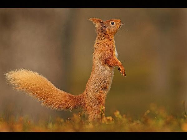 Alert red squirrel by Elliebarn