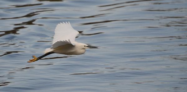 Egret by Dugs