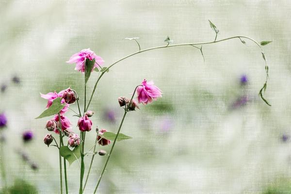 Double flower of a pink Columbine (aquilegia vulgaris) by Phil_Bird