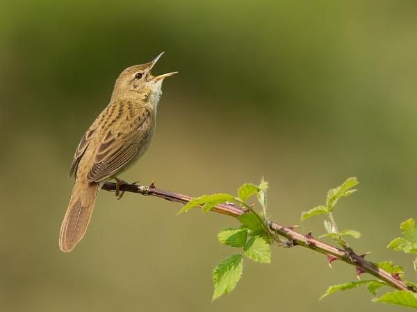 Grasshopper Warbler by Jamie_MacArthur