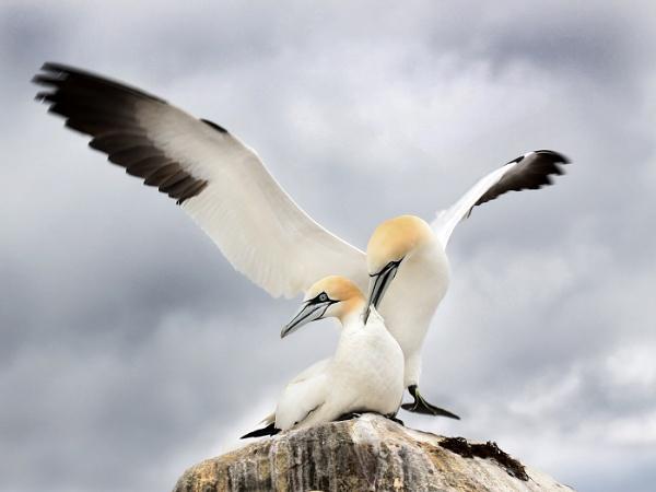Gannet Courtship by Jamie_MacArthur