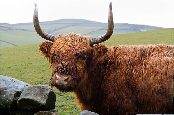 Highland Cattle by gmorley