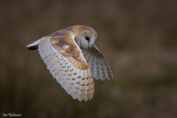 Tyto Alba in flight by ianrobinson