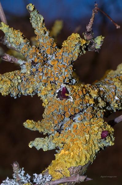 Lichen on Elder by Alan_Baseley