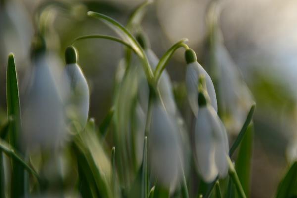 Snowdrop blur by longhoss