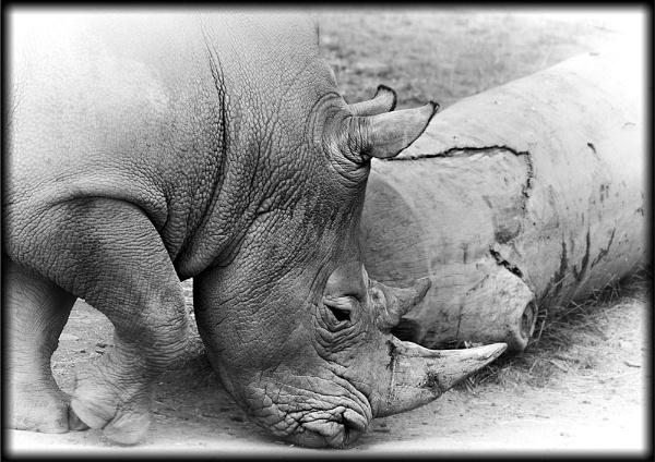Rhino by tynetoons