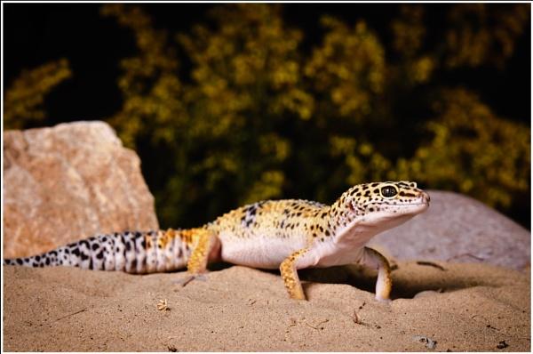 Leopard Gecko by achieverswales