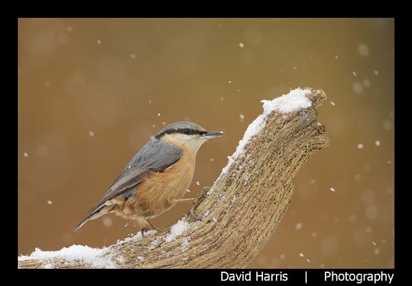 Snowy Nuthatch by johnjo58