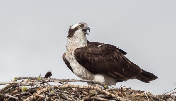 osprey by wm