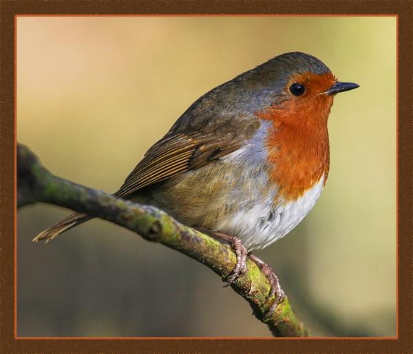 Robin at Himley by DicksPics