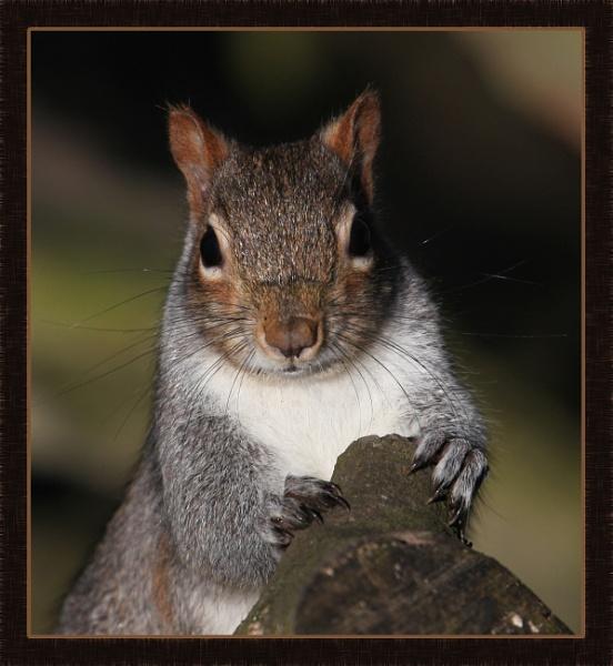Squirrel at Himley 2 by DicksPics