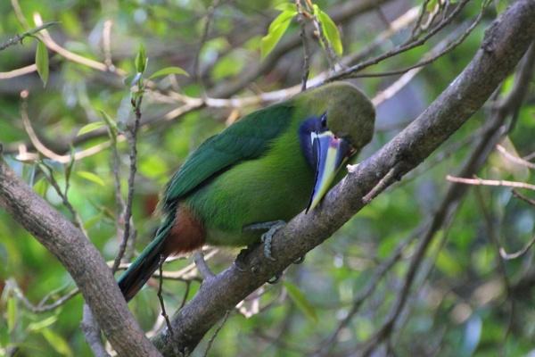 Emerald Toucanet by grannyc