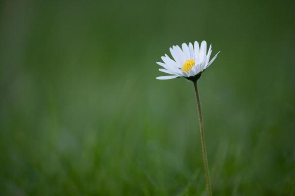 Daisy by Baden