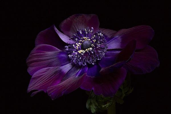 "Anemone Coronaria de Caen \""Bordeaux\"" by ann_g"