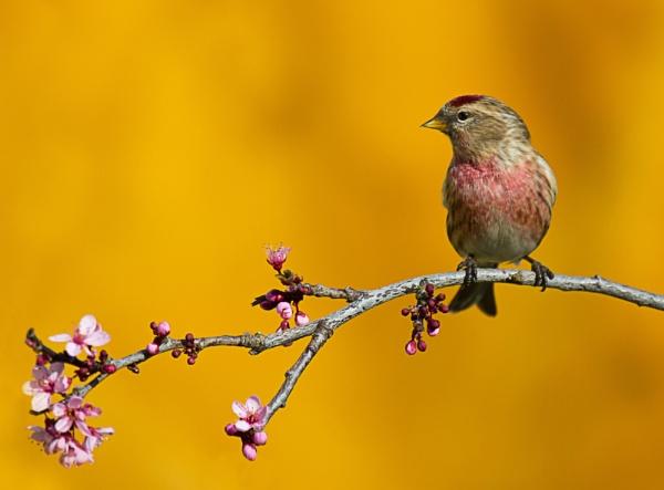 Blossoming Redpoll by PhilSingleton