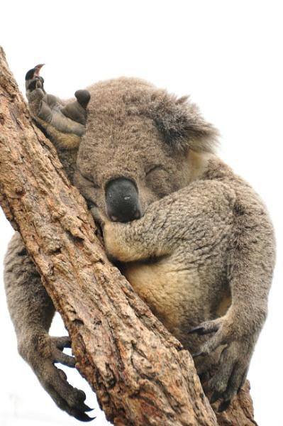 Koala by onetrickpony