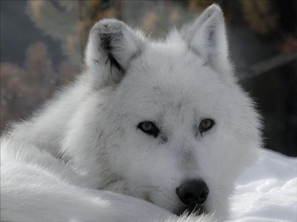 White Wolf by maggietear
