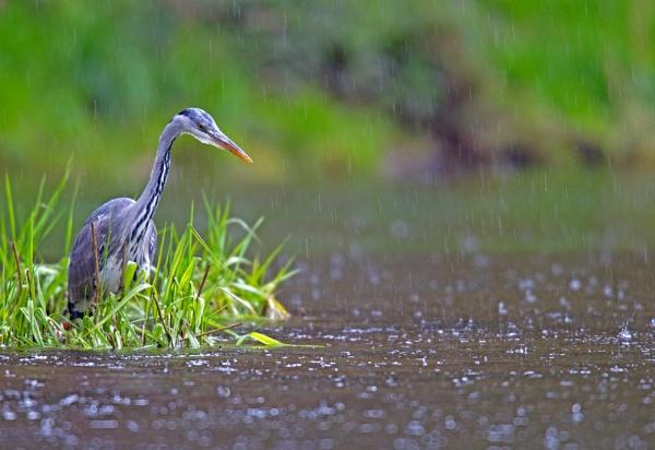 Heron in the rain. by philmclean