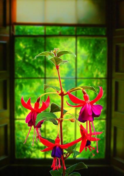 Fuchsia by bigalguitarpicker