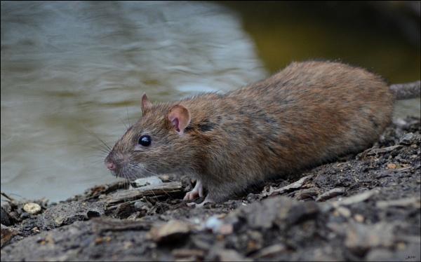 Brown Rat : Rattus norvegicus by Jefflor