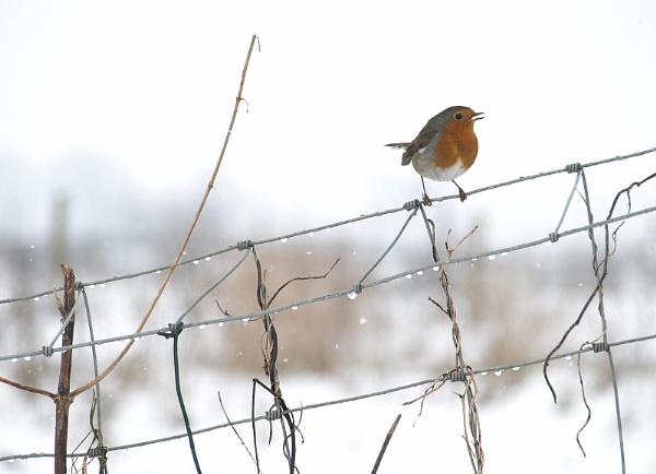 Robin by turniptowers