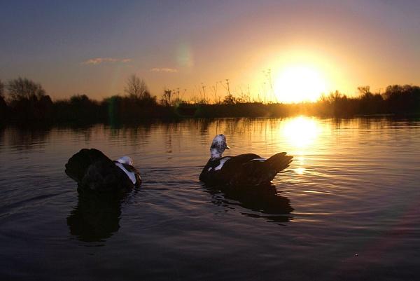 Sunrise ducks by turniptowers