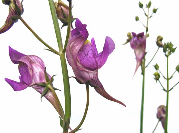 Linaria triornithophora by flowerpower59