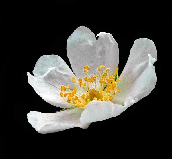 Single flower by pp1