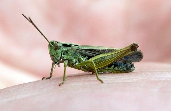 Grasshopper by pp1