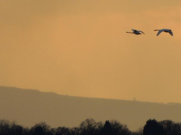 Swans in flight by CWoolley
