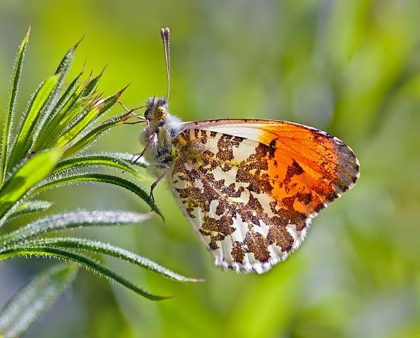 Orange-tip by mattberry