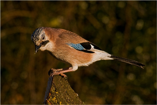 Jay by dven