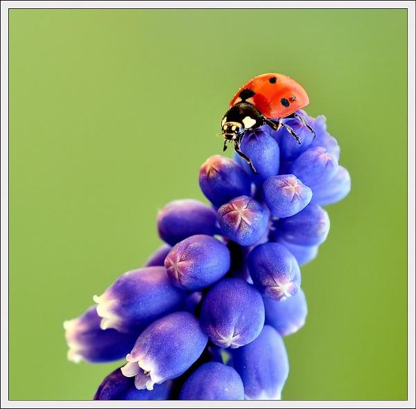 Ladybird & Muscari. by bricurtis