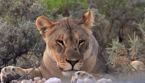 Etosha lioness by Kool_Kat