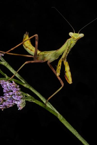 Praying mantis by Angi_Wallace