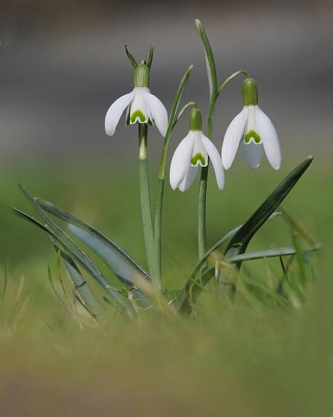 Venturous harbinger of Spring