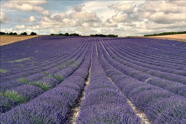 Lavender Field by paddyman