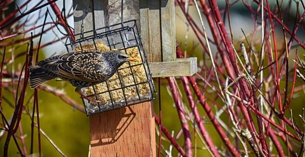 Starling feeding by qwertshadow