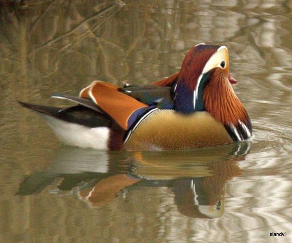 Mandarin duck by tamasalucy