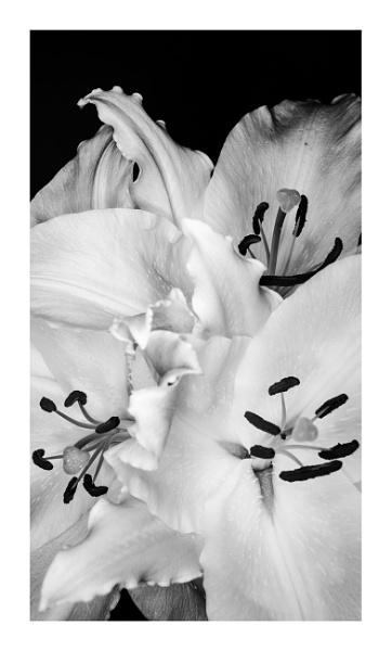 Lillies in BW by EddyG