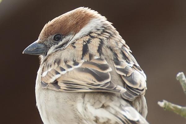 House Sparrow by llareggub