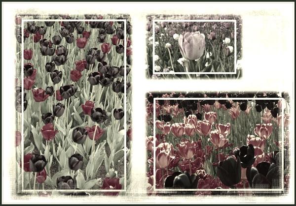 Tulip Triptych 2 by Bonvilston